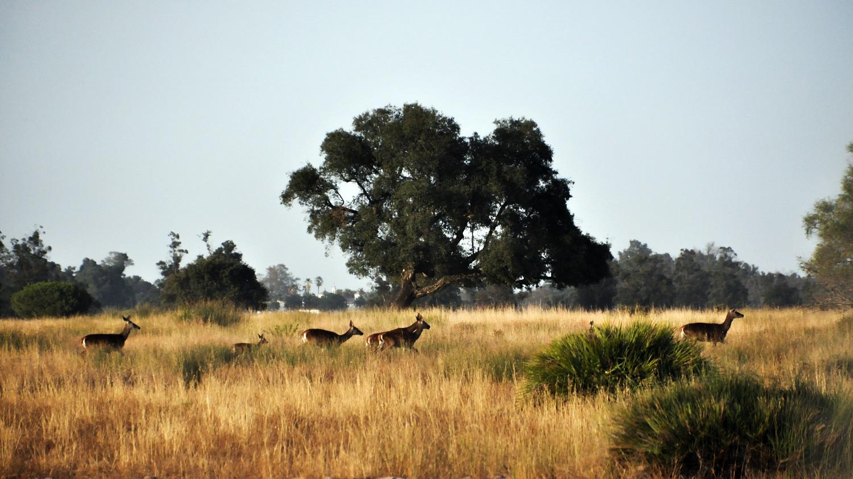 Ciervos en el Parque Nacional de Doñana