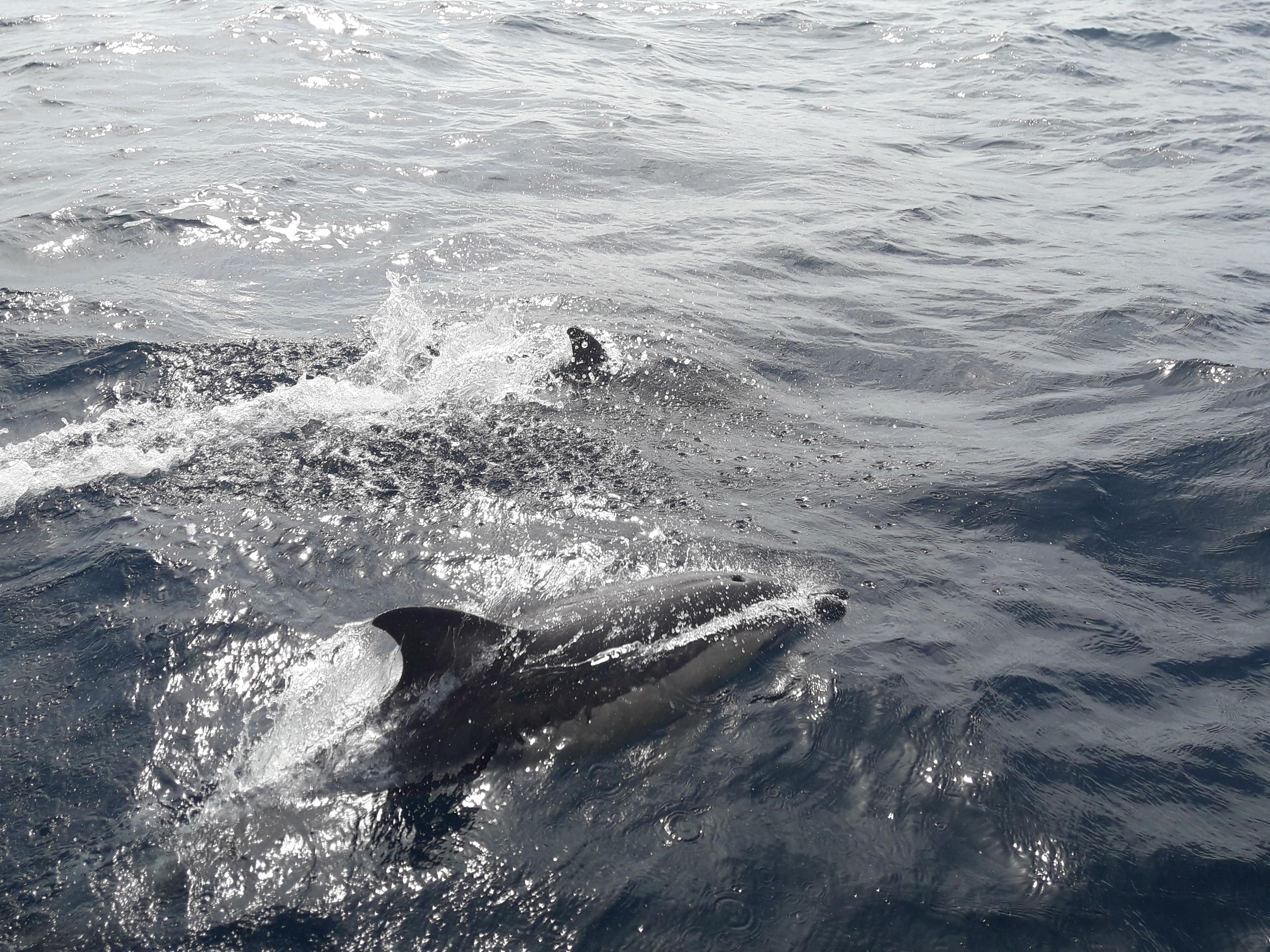 delfines-chollo-azores