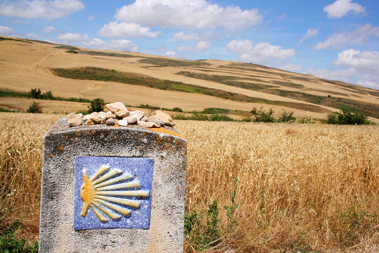 Concha camino de Santiago entre campos de trigo